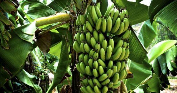 банановая ферма под Киевом