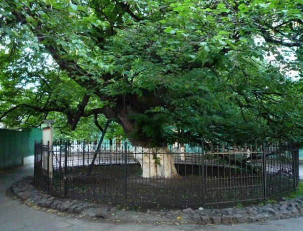 Древняя липа Петра Могилы, Киев